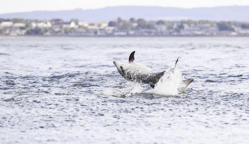 Golfinhos selvagens felizes, brincalhão imagens de stock