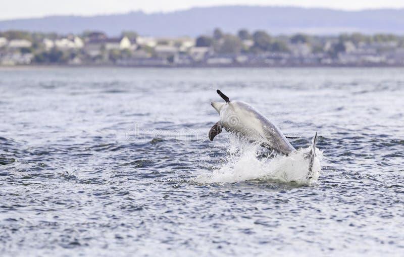 Golfinhos selvagens felizes, brincalhão fotografia de stock royalty free