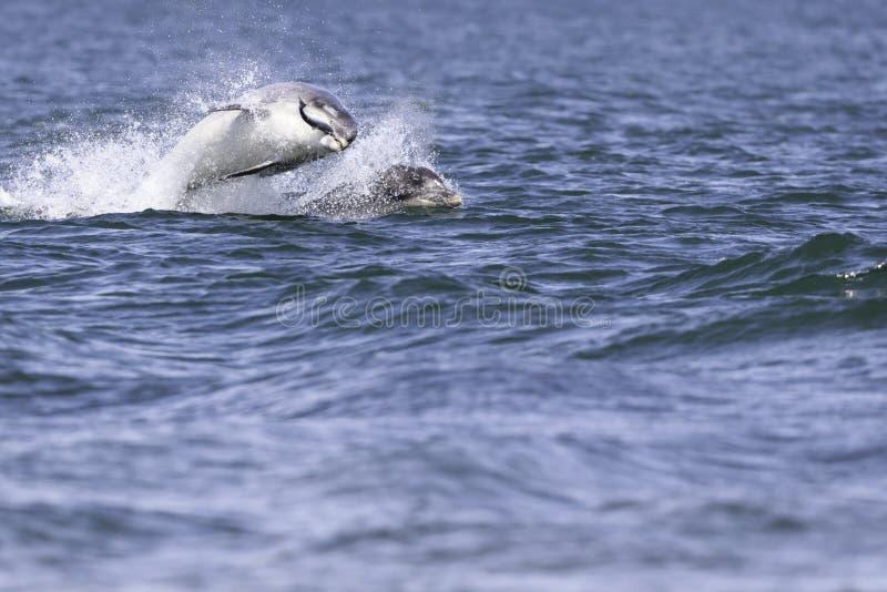 Golfinhos selvagens felizes, brincalhão fotografia de stock