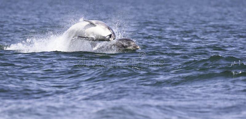 Golfinhos selvagens felizes, brincalhão imagem de stock royalty free