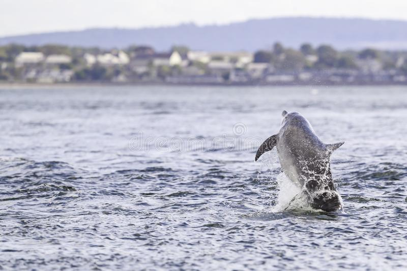Golfinhos selvagens felizes, brincalhão foto de stock