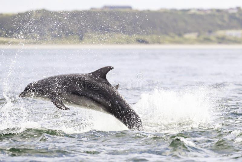 Golfinhos selvagens felizes, brincalhão fotos de stock