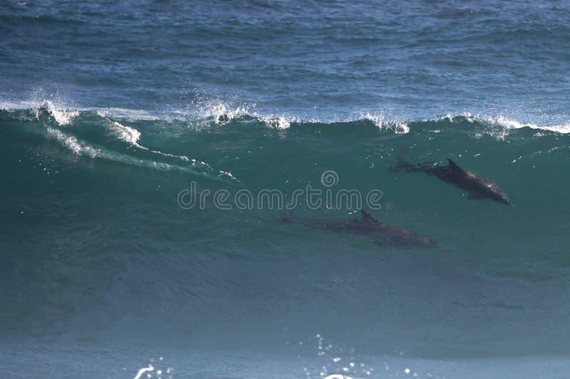 Golfinhos selvagens na onda imagem de stock