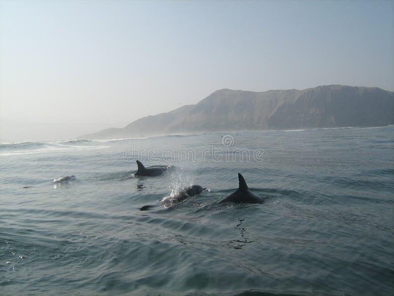 Golfinhos selvagens que nadam fora da costa peruana imagem de stock