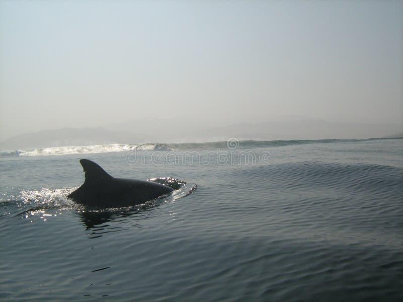 Golfinhos selvagens que nadam fora da costa peruana imagem de stock royalty free