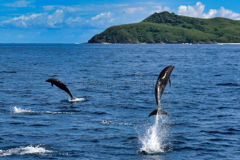 Golfinhos selvagens que pulam fora do oceano imagem de stock