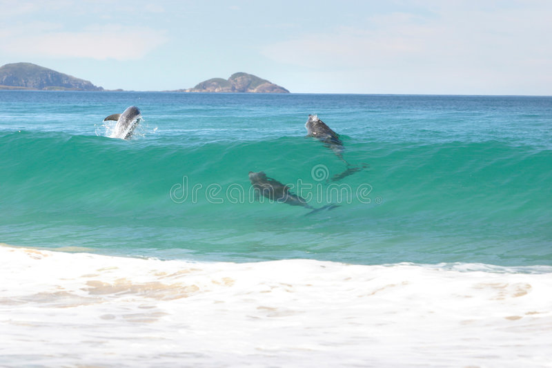 Golfinhos surfando fotos de stock royalty free