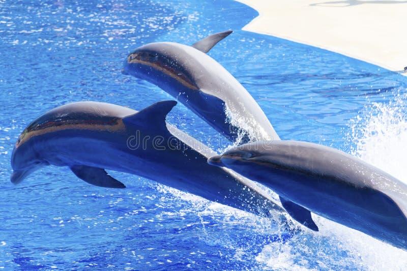 Golfinhos treinados que saltam na associação do parque da água imagem de stock