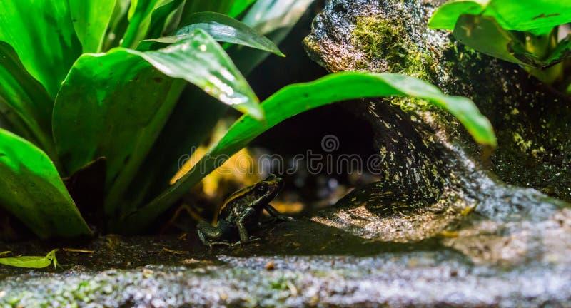 Golfodulcean-Gift-Pfeilfrosch, der unter einer Anlage, einer gefährlichen und giftigen Amphibie von Costa Rica sitzt lizenzfreie stockbilder