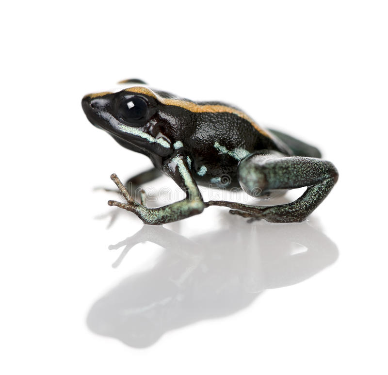 Golfodulcean Poison Frog against white background. Side view of Golfodulcean Poison Frog, Phyllobates vittatus, against white background, studio shot stock photography