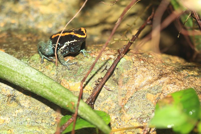 Golfodulcean poison frog. On the rock royalty free stock photo