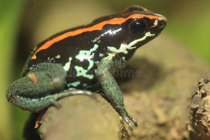 Golfodulcean poison frog. On the wood royalty free stock photography