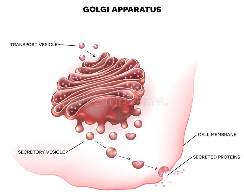 golgi apparatus part eukaryotic cell detailed labeled illustration 63062372