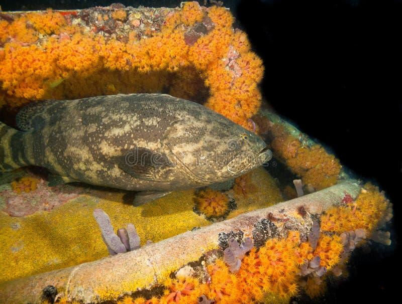 Goliath-Barsch auf Wassermann-Riff-Basis, Florida-Schlüssel stockfoto