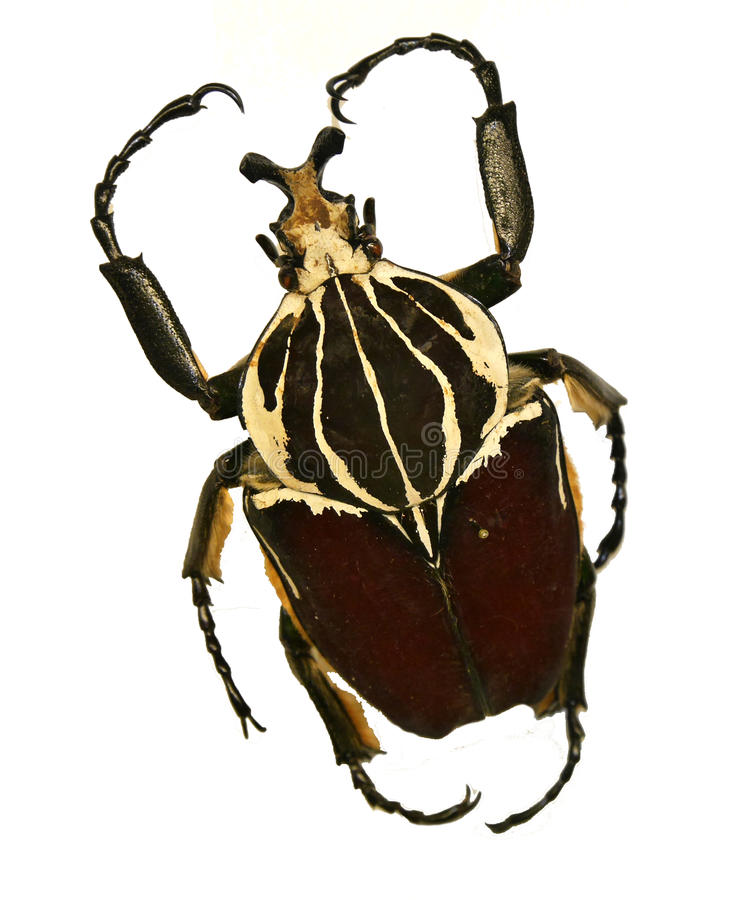 Download Goliath beetle stock image. Image of beetle, black, extended - 97440447