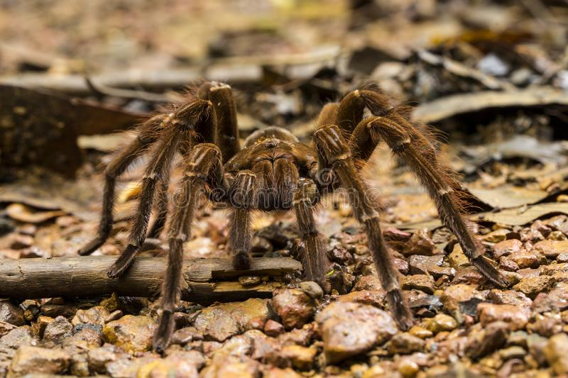 Goliath bird-eating spider, Theraphosa blondi. A Goliath bird-eating spider,Theraphosa blondi, in daylight, crossing a path in a tropical rainforest., South stock photo