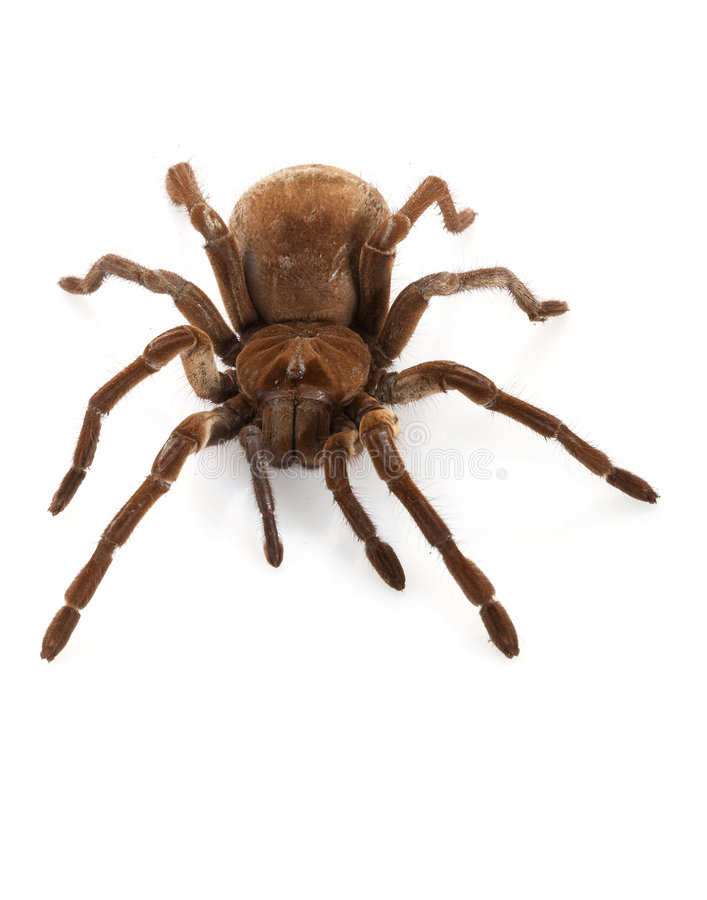 Goliath Birdeater royalty free stock images