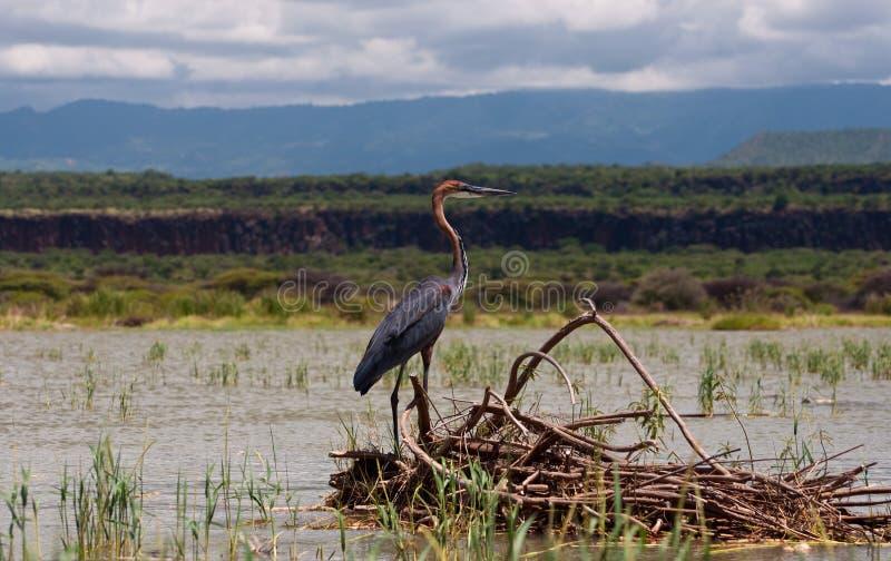 Download Goliath Crane, Lake Baringo Royalty Free Stock Photos - Image: 26815658