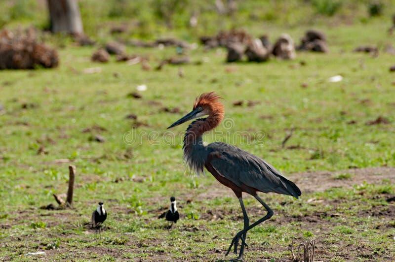 Goliath czapla broni swój terytorium, Jeziorny Baringo, Kenia zdjęcia stock
