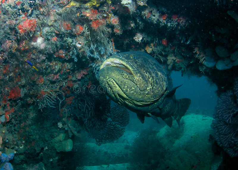 Goliath Grouper. (Epinephelus itajara) at home on an artificial reef in Palm Beach County Florida royalty free stock photo