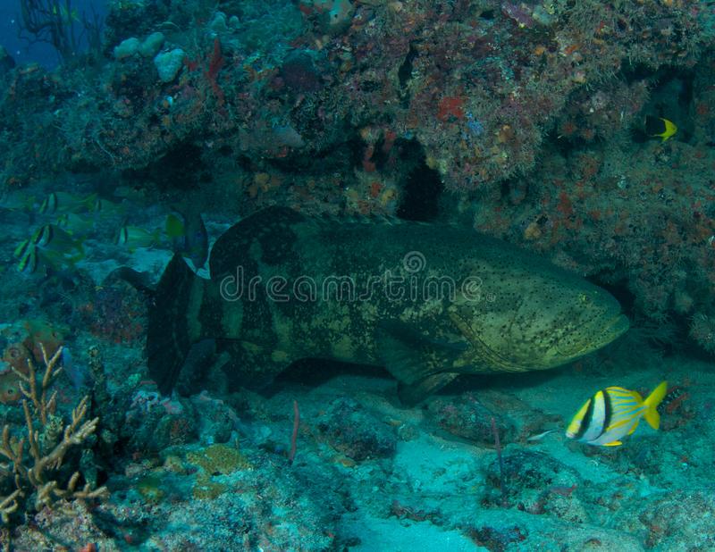 Goliath Grouper. (Epinephelus itajara) under a reef ledge in Boca Raton, Florida stock photography