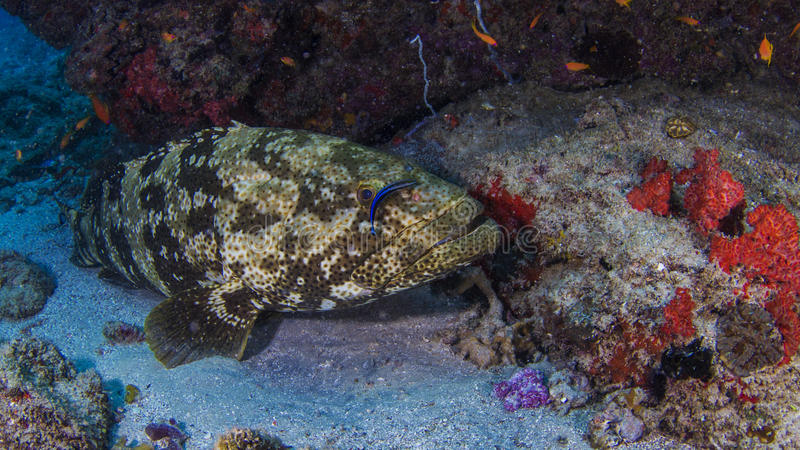Goliath Grouper royaltyfri bild