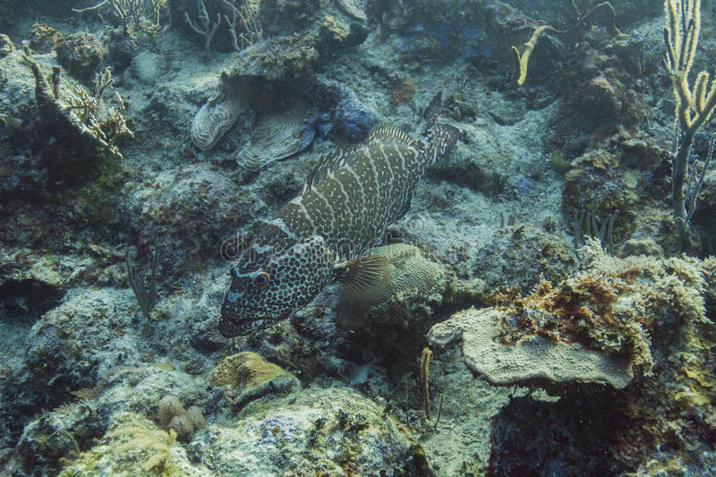 Goliath Grouper. Epinephelus itajara or goliath grouper resting at the bottom of the sea royalty free stock image