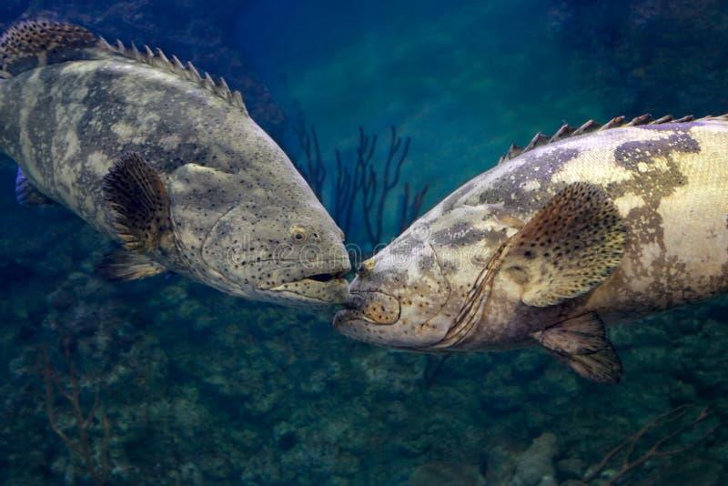 Goliath grouper Epinephelus itajara. Two big fishes royalty free stock images