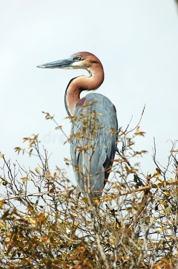 Goliath Heron. At Kriger National park, South Africa stock photography