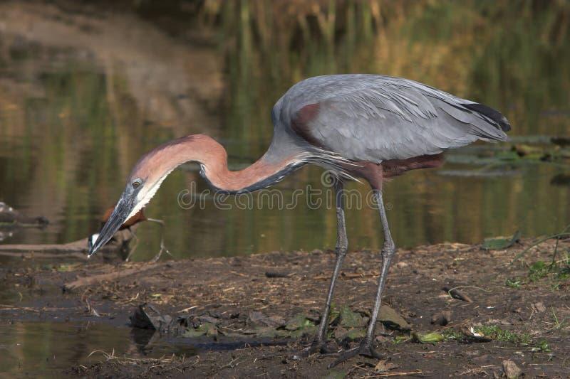 Download Goliath Heron stock photo. Image of grey, fauna, blue - 1419894