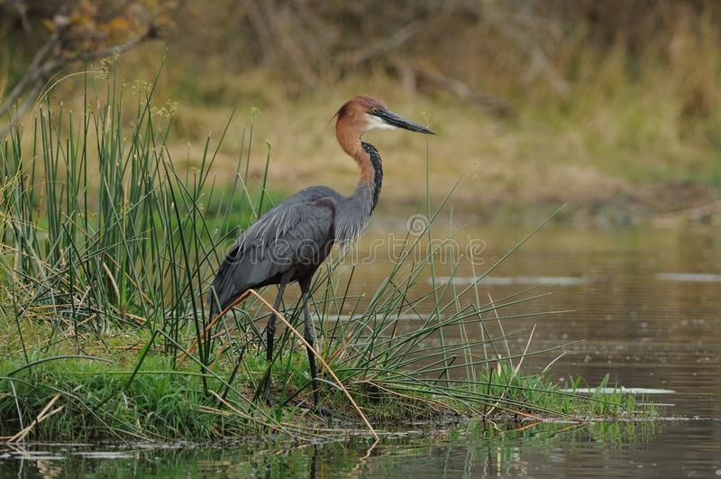 Goliath Heron. This Heron you can found in south Africa royalty free stock photography