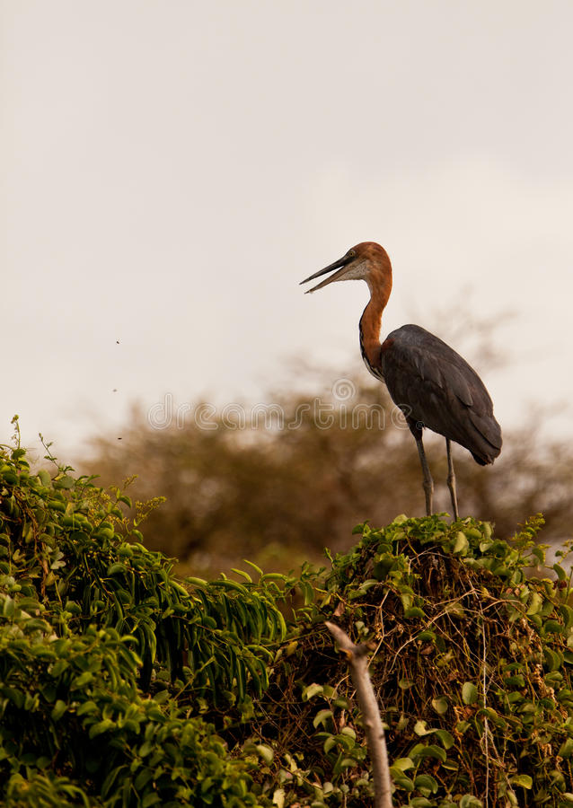 Download The Goliath Heron Royalty Free Stock Photography - Image: 24346327