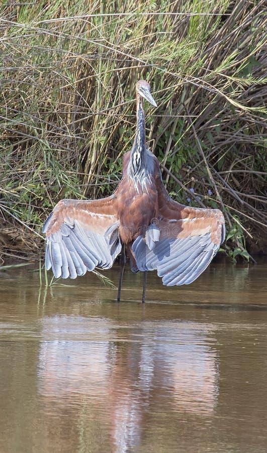 Goliath Heron fotos de archivo