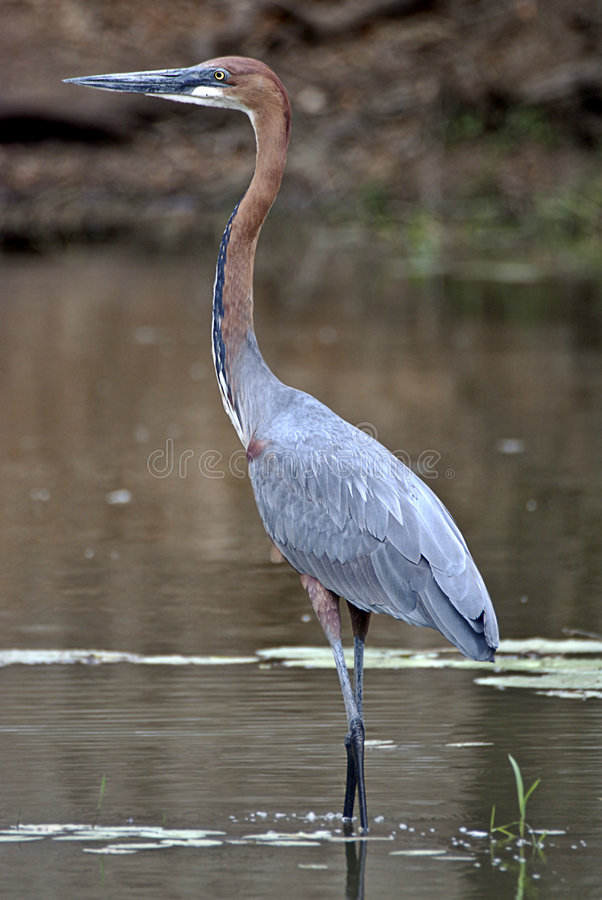 Goliath Heron. (Ardea goliath) at Kruger National park, South Africa. This is the world's largest heron stock image