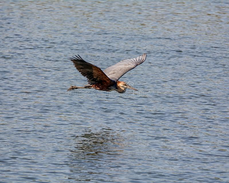 Goliath Heron In Flight stock photo