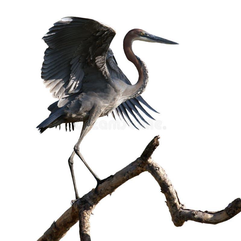 Free Goliath Heron On Branch Stock Photos - 15450243