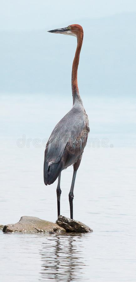 Goliath heron standing on a rock at the shore of Lake Naivasha royalty free stock photography
