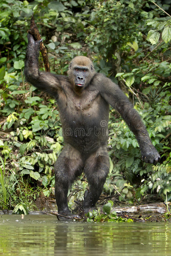 Golilla steppe. Gorillas steppe are photographed in the park lekedi in Gabon royalty free stock photo