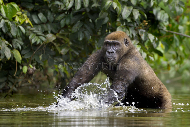 Golilla steppe. Gorillas steppe are photographed in the park lekedi in Gabon stock images