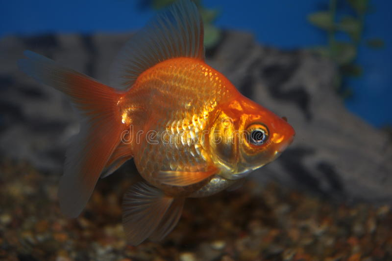 Golldfish 免版税库存图片