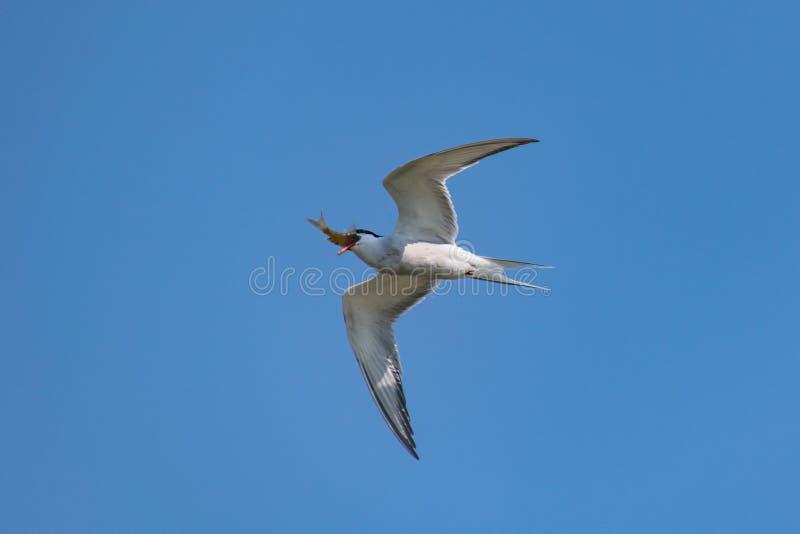 Golondrina de mar común en vuelo con un pescado recién pescado imágenes de archivo libres de regalías