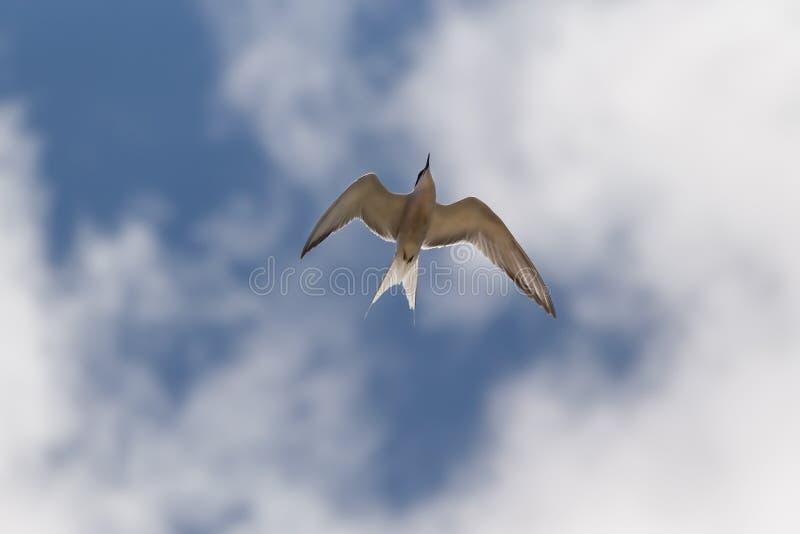 Golondrina de mar en el cielo fotografía de archivo libre de regalías