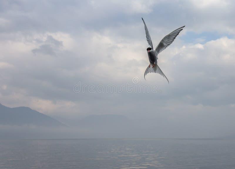 Golondrina de mar polar en vuelo en el fondo del lago imagenes de archivo