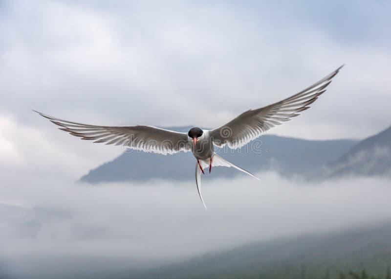 Golondrina de mar polar en vuelo en el fondo de la montaña fotos de archivo