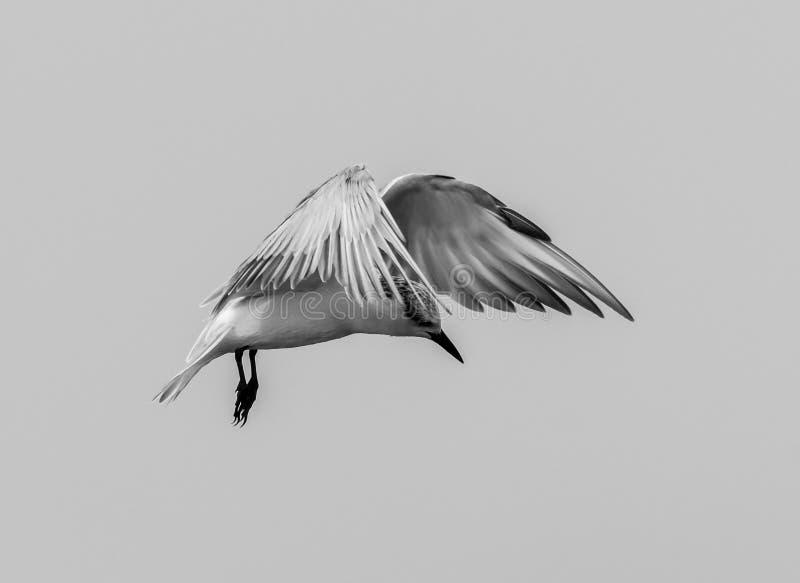 Golondrina de mar de Whiskered imagenes de archivo