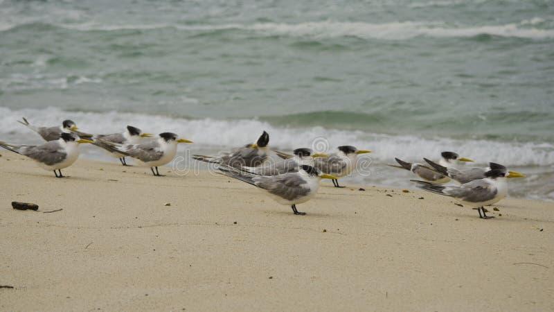 Golondrinas de mar con cresta en la playa fotografía de archivo libre de regalías