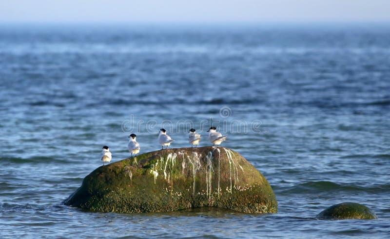 Golondrinas de mar del bocadillo foto de archivo libre de regalías
