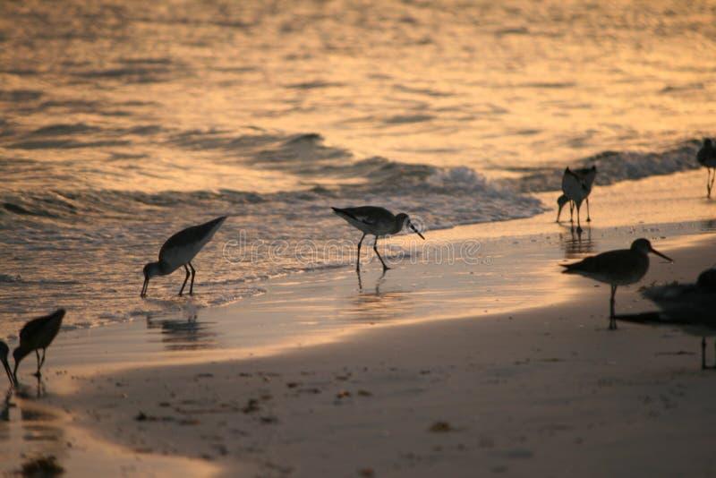 Golondrinas de mar en la playa fotos de archivo