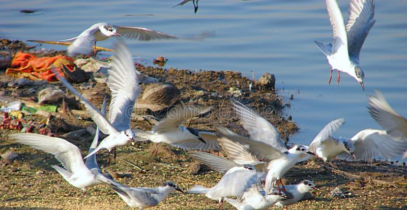 Golondrinas de mar patilludas que vuelan en el lago Randarda, Rajkot fotografía de archivo libre de regalías