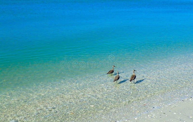Golondrinas de mar que se colocan en el océano azul claro que busca la comida fotografía de archivo libre de regalías